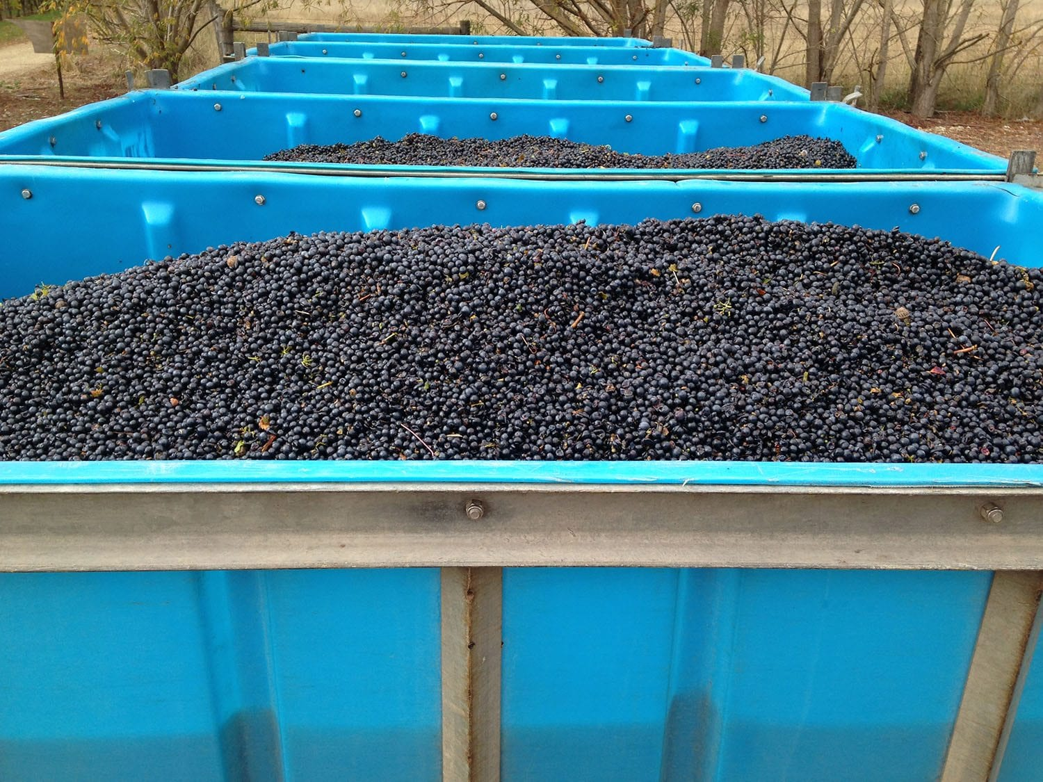 LGVS Grape Harvesting 01
