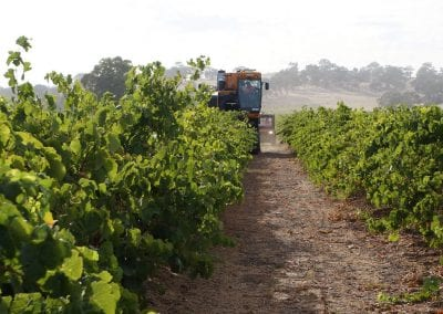 LGVS Grape Harvesting 03