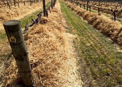 Straw Mulch Undervine 11
